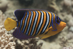 BD-150225-Tiran-6847-Pygoplites-diacanthus-(Boddaert.-1772)-[Regal-angelfish.-Påfågelkejsarfisk].jpg